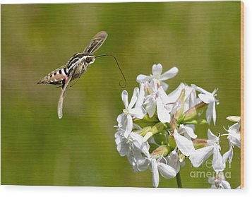 White-lined Sphinx Hummingbird Moth Wood Print by Fred Emms