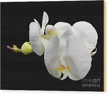 White Orchid On Black Background Wood Print