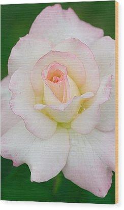 White Rose With Pink Edge Wood Print by Atiketta Sangasaeng
