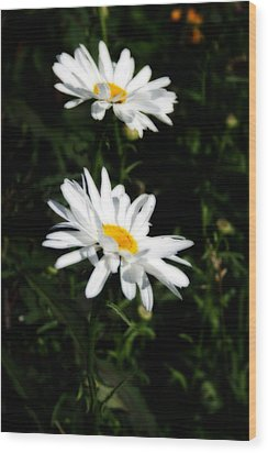 White Shasta Daisies Wood Print by Kay Novy