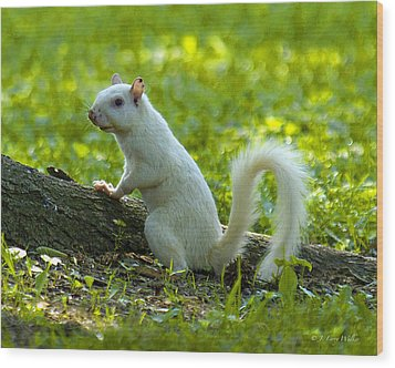 White Squirrel Wood Print