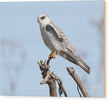 White-tailed Kite Hawk Perched . 7d11090 Wood Print by Wingsdomain Art and Photography