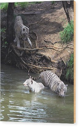 White Tigers In Water Pond Wood Print by Johnson Moya