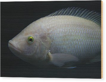 White Tilapia With Yellow Eyes Wood Print
