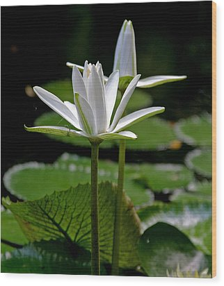 White Water Lily Wood Print by Lisa  Spencer