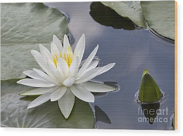 White Water Lily Wood Print by Vladimir Sidoropolev
