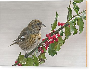 White-winged Crossbill On Holly Branch Wood Print by Jean A Chang