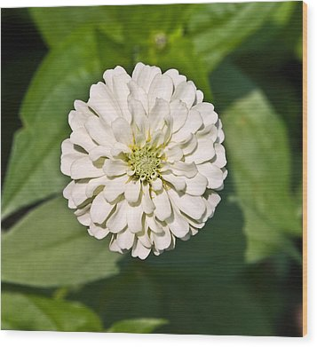 Wood Print featuring the photograph White Zinnia And Green Leaves by Susan Leggett