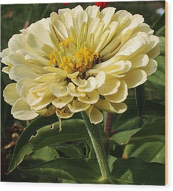 White Zinnia Wood Print by Bruce Bley