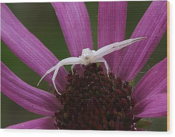 Whitebanded Crab Spider On Tennessee Coneflower Wood Print by Daniel Reed