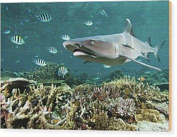 Whitetip Shark Over Coral Reef Wood Print by Alexander Safonov