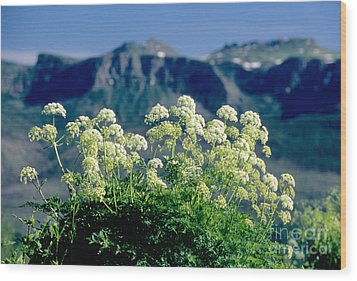 Wild Angelica Wood Print by James Steinberg and Photo Researchers