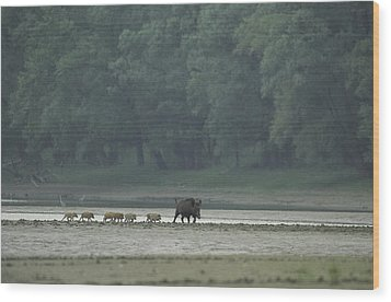 Wild Boar And Her Piglets Running Wood Print by Klaus Nigge