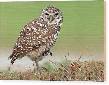 Wild Burrowing Owl Balancing On One Leg Wood Print by Mlorenzphotography