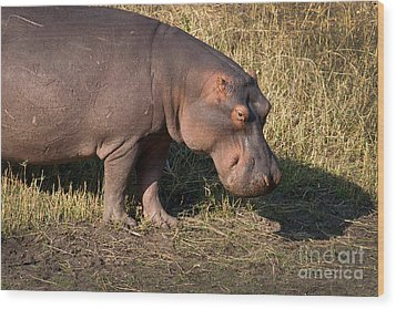 Wood Print featuring the photograph Wild Hippopotamus by Karen Lee Ensley