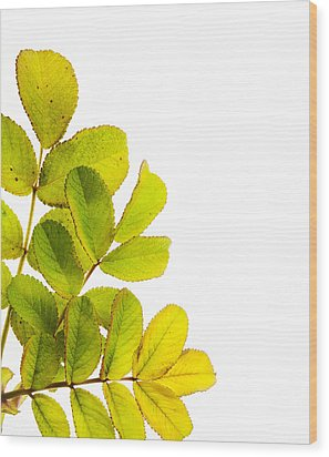 Wild Rose Leaves Macro Postcard Wood Print