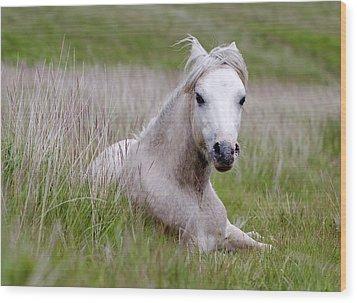 Wild Welsh Pony Wood Print by Steve Hyde