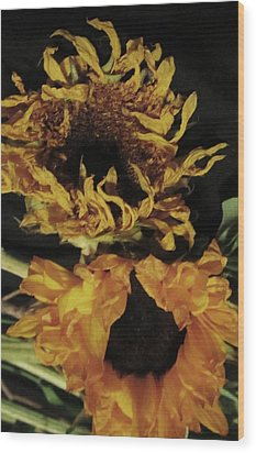 Wilted Sunflowers Wood Print by Todd Sherlock
