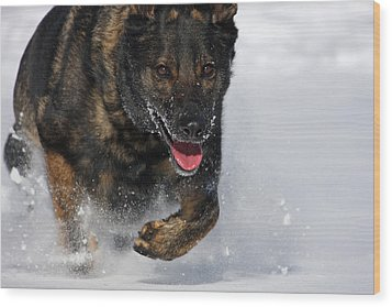 Winter Run Wood Print by Karol Livote