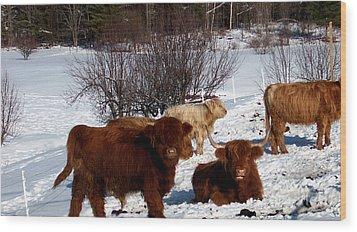 Winter Steer  Wood Print by The Kepharts