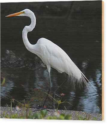 Wispy Feathers Of A White Heron Wood Print by Becky Lodes