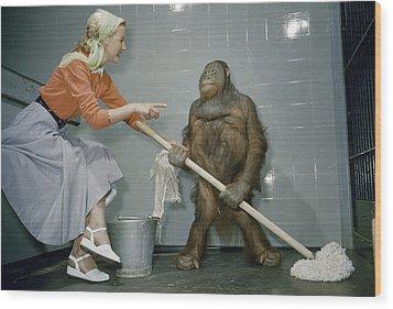 Woman Communicates With Orangutan Wood Print by B. A. Stewart And David S. Boyer