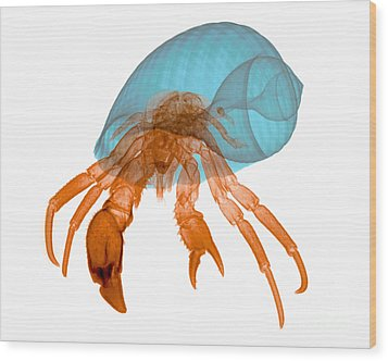X-ray Of Hermit Crab Wood Print by Ted Kinsman