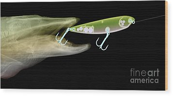 X-ray Of Muskie & Lure Wood Print by Ted Kinsman