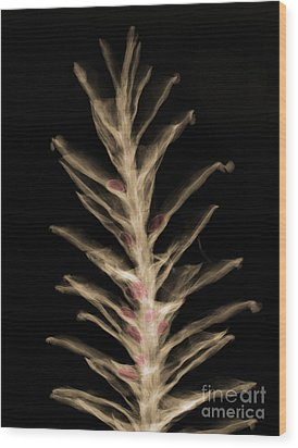 X-ray Of Pinecone With Seeds Wood Print by Ted Kinsman