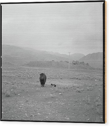 Yak In Grassland Wood Print by Oliver Rockwell