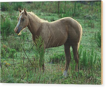 Yearling Palomino Chewing On A Stick - C0482c Wood Print by Paul Lyndon Phillips