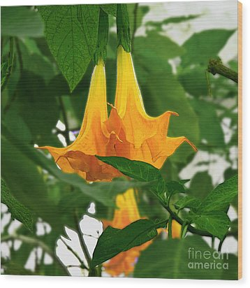 Yellow Angel's Trumpet Flower Wood Print