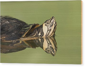 Yellow-bellied Slider Trachemys Scripta Wood Print by Ingo Arndt