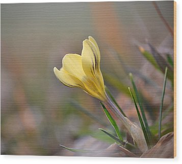Yellow Crocus Wood Print