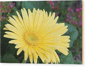 Yellow Gerbera Wood Print by Becky Lodes