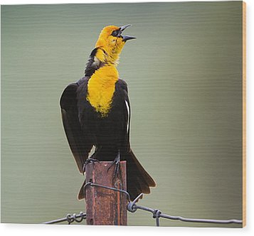Yellow-headed Blackbird Wood Print by Merle Ann Loman
