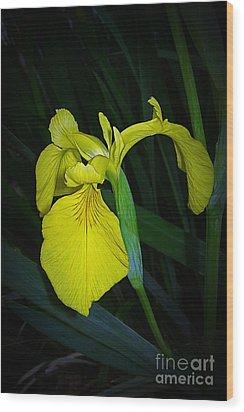 Yellow Iris Wood Print by Judi Bagwell