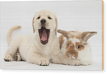 Yellow Lab Puppy With Rabbit Wood Print by Mark Taylor