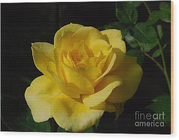 Yellow Rose Close Up Wood Print