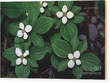 Yoho - Bunchberry Dogwood 1 Wood Print by Terry Elniski