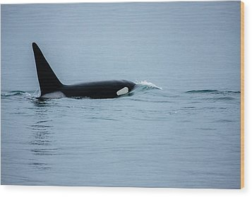 Young Bay Orca Wood Print by Josh Whalen