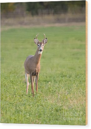 Young Buck Wood Print by Art Whitton