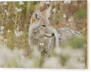 Young Coyote Canis Latrans In A Forest Wood Print by Philippe Widling
