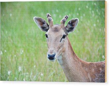 Young Fawn, Red Fallow Deer Buck Wood Print
