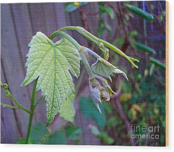 Young Grape Leaves Wood Print by Padre Art