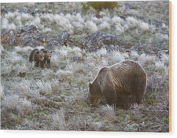 Young Grizzly Cubs Play As Their Mother Wood Print by Drew Rush