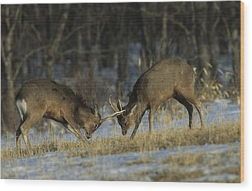 Young Male Sika Deer Practice Sparring Wood Print by Tim Laman