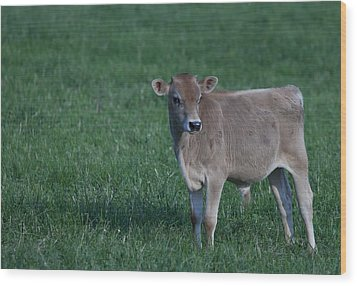 Wood Print featuring the photograph Young Moo by John Crothers