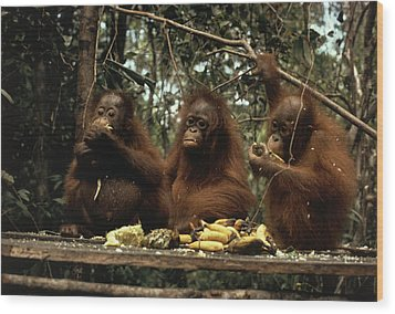 Young Orangutans Eat Together Wood Print by Rodney Brindamour