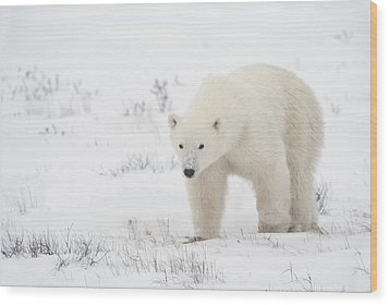 Young Polar Bear Ursus Maritimus Walks Wood Print by Richard Wear